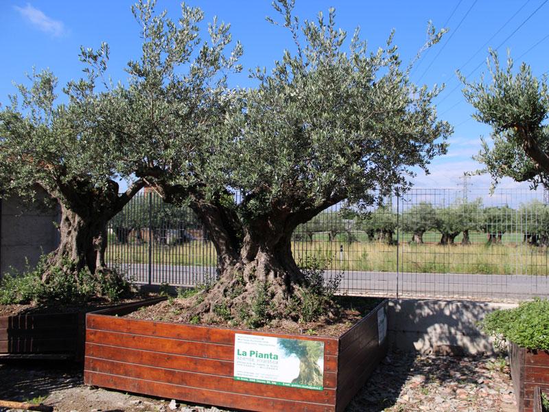 Vendita ulivi secolari prezzo fioriera con grigliato for Vendita piante da giardino